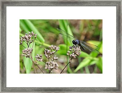 Blue-grey Dragonfly 2 Framed Print