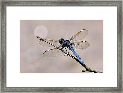 Blue-grey Dragonfly Framed Print