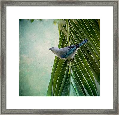 Blue Grey Tanager On A Palm Tree Framed Print