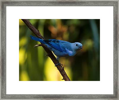 Blue Grey Tanager Framed Print by Chris Flees
