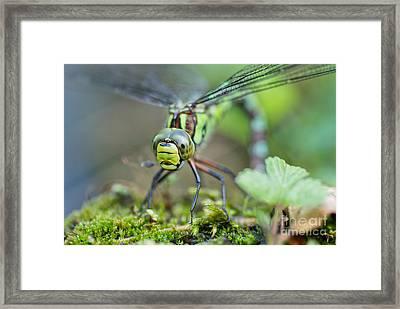 Blue Hawker Dragonfly Framed Print by Martin Capek