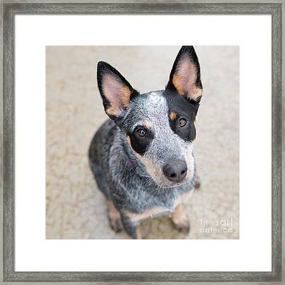 Blue Heeler 1 Framed Print