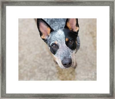 Blue Heeler 3 Framed Print by Rebecca Cozart