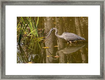 Blue Heron 1 Framed Print by Ginger Harris