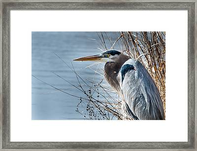 Blue Heron At Pond Framed Print by John Johnson
