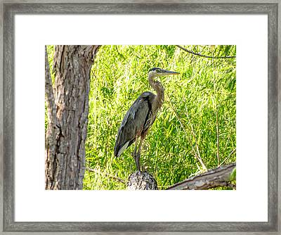 Blue Heron At Rest Framed Print by John Johnson