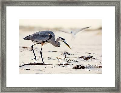 Blue Heron At The Beach Framed Print by Joan McCool