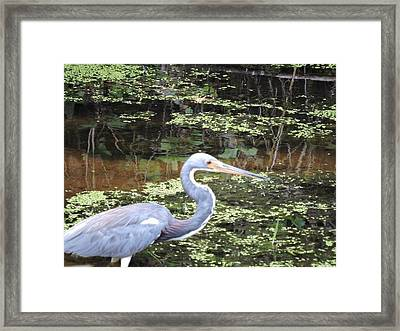 Blue Heron Close Up Framed Print by Beth Williams