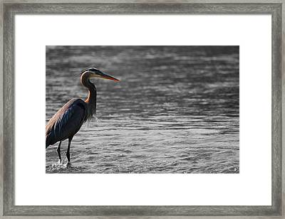 Blue Heron  Framed Print by Dan Sproul