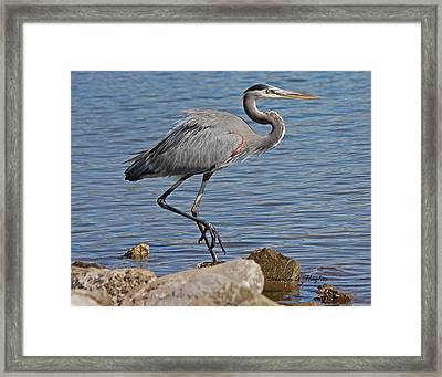 Blue Heron Framed Print