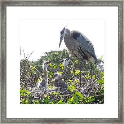 Framed Print featuring the photograph Blue Heron Family by Ron Davidson