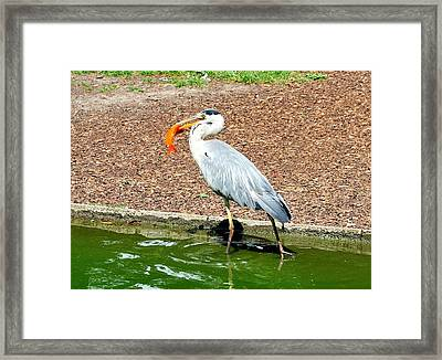 Framed Print featuring the photograph Blue Heron Feeding by Joe  Ng