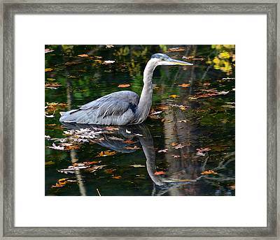 Blue Heron In Autumn Waters Framed Print by Frozen in Time Fine Art Photography