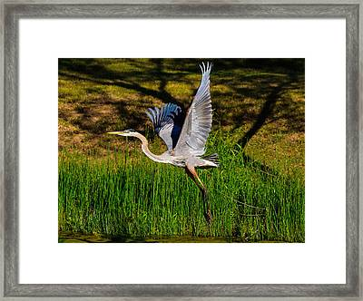 Framed Print featuring the photograph Blue Heron In Flight by John Johnson