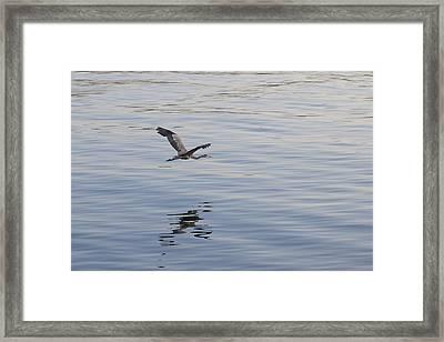 Blue Heron In Flight Framed Print