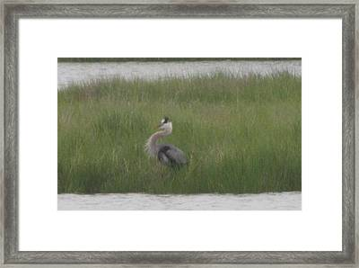 Blue Heron In Full Dress Framed Print by Debbie Nester