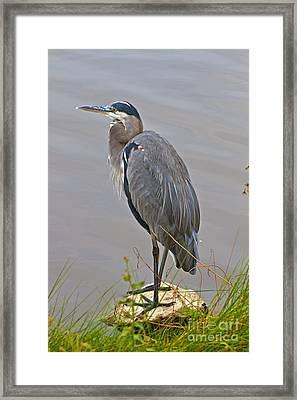 Blue Heron Iv Framed Print