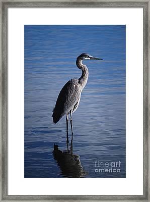 Blue Heron Framed Print by Joy Bradley