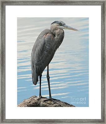 Framed Print featuring the photograph Blue Heron  by Kenny Glotfelty