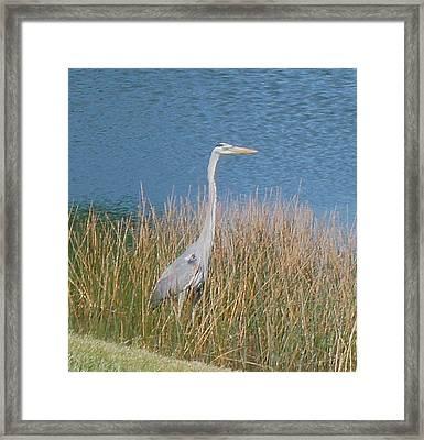 Blue Heron Framed Print by Kristine Bogdanovich