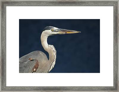 Blue Heron Framed Print by Lois Lepisto