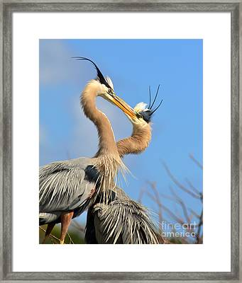 Blue Heron Love Framed Print by Jane Axman