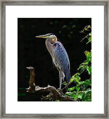Blue Heron Majestic Pose Framed Print