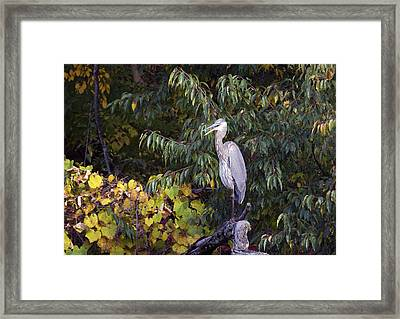 Blue Heron Perched In Tree Framed Print