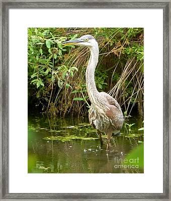 Blue Heron Reflection Framed Print by Susan Garren