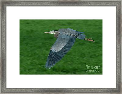 Blue Heron Framed Print by Rod Wiens
