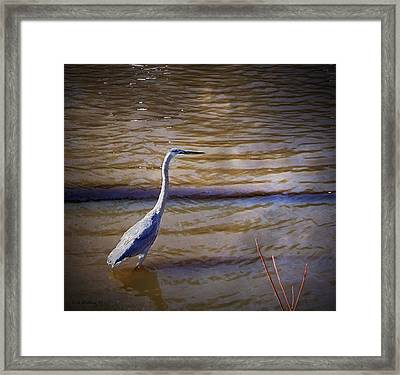 Blue Heron - Shallow Water Framed Print by Brian Wallace