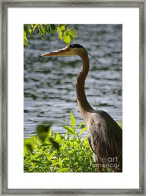 Blue Heron Sunning Framed Print