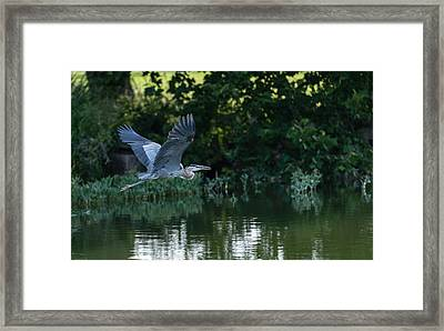Blue Heron Take-off Framed Print by John Johnson