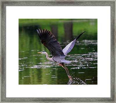 Blue Heron Takeing Off Framed Print by Edward Kocienski