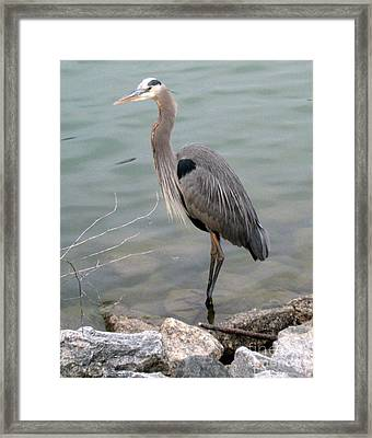 Blue Heron Framed Print by Wendy Coulson