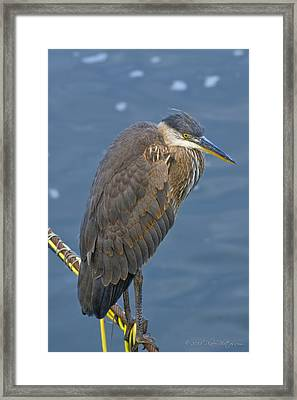 Blue Herron Framed Print