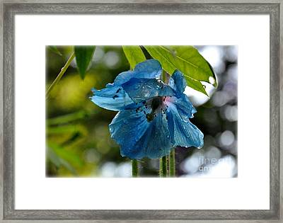 Blue Himalayan Poppy Framed Print