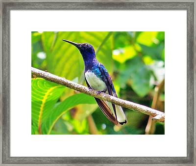 Framed Print featuring the photograph Blue Humming Bird by Al Fritz
