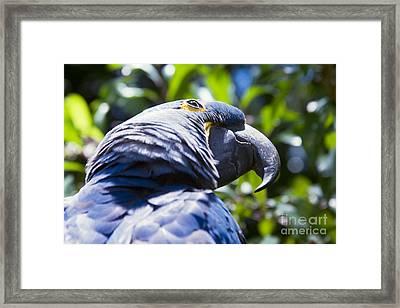 Blue Hyacinth Macaw - Anodorhynchus Hyacinthinus - Kailua Maui Hawaii  Framed Print