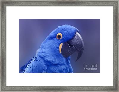 Blue Hyacinth Macaw - Anodorhynchus Hyacinthinus - Puohokamoa Hoolawa Maui Hawaii  Framed Print