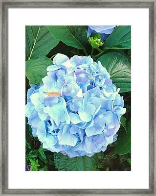 Blue Hydrangea Framed Print by Van Ness
