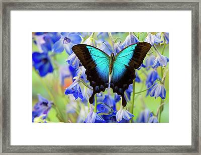 Blue Iridescence Swallowtail Butterfly Framed Print by Darrell Gulin