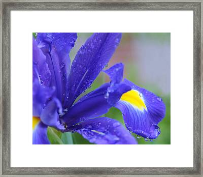 Framed Print featuring the photograph Blue Iris by Haleh Mahbod