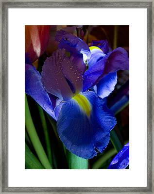 Blue Iris Framed Print by Joann Vitali
