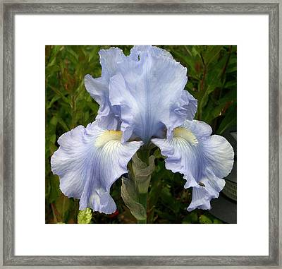 Blue Iris Framed Print by Kay Novy