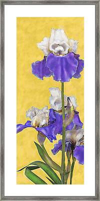 Framed Print featuring the digital art Blue Iris On Gold by Jane Schnetlage