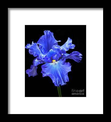 Siberian Iris Framed Prints