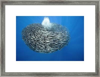 Blue Jack Mackerel Bait Ball Framed Print