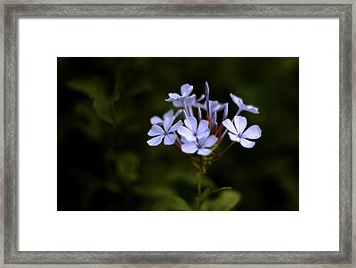 Blue Jasmine Framed Print by Ramabhadran Thirupattur