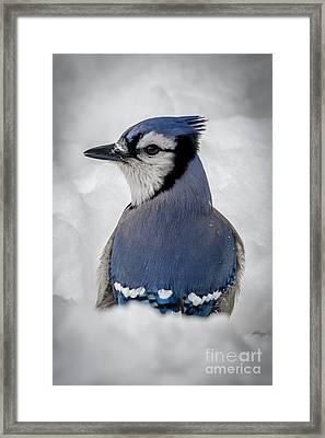 Blue Jay Alert Framed Print